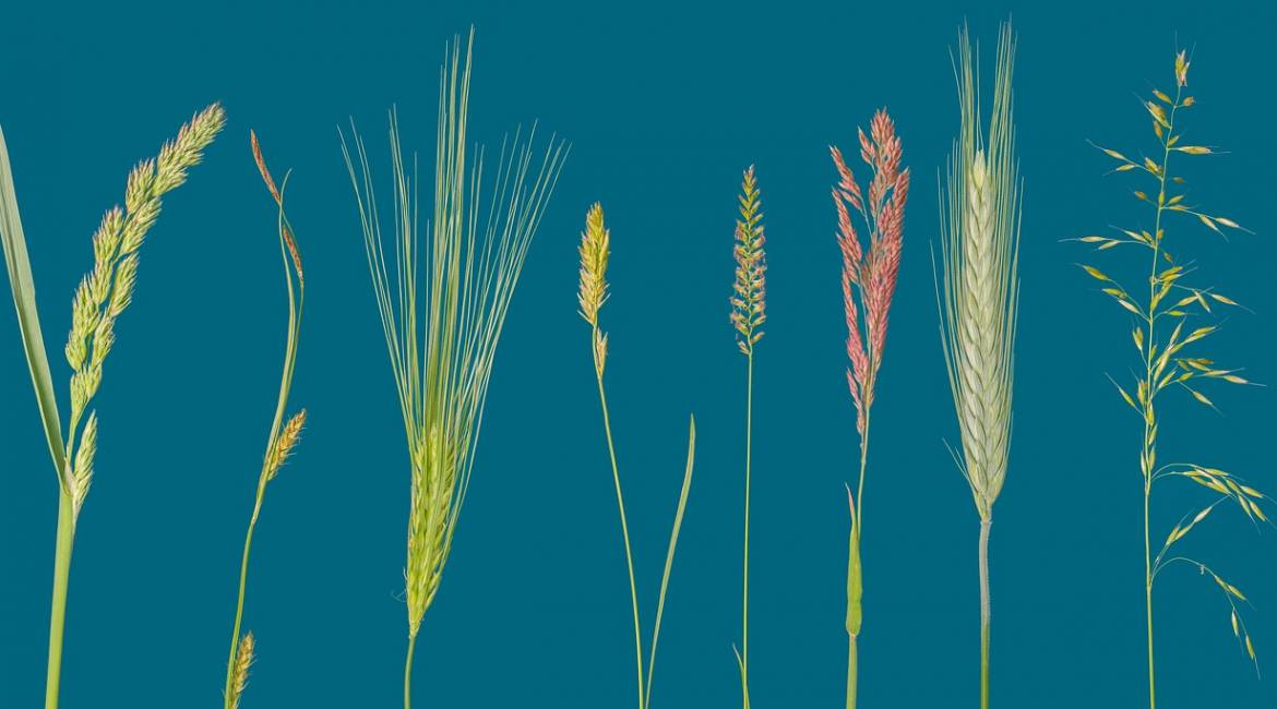 Cereals- Grains of Life
